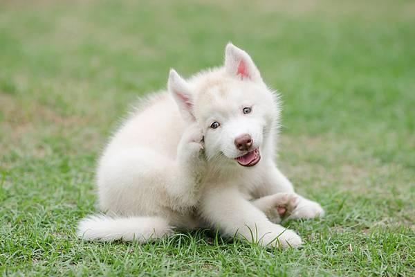 Блохи у йорков и лечение щенят и взрослой собаки