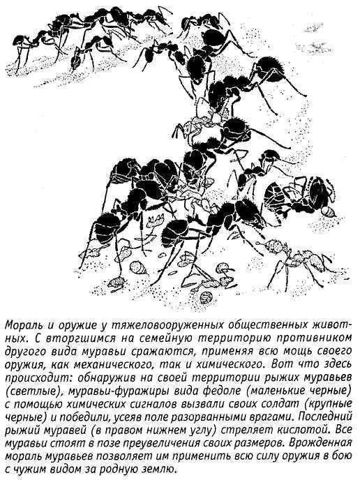 Жёлтый муравей-амазонка