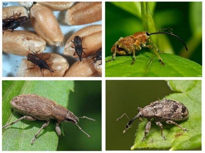 Чем питается жук-долгоносик и как его обезвредить