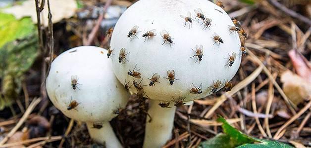 Мошки на рассаде — как избавиться от вредителей