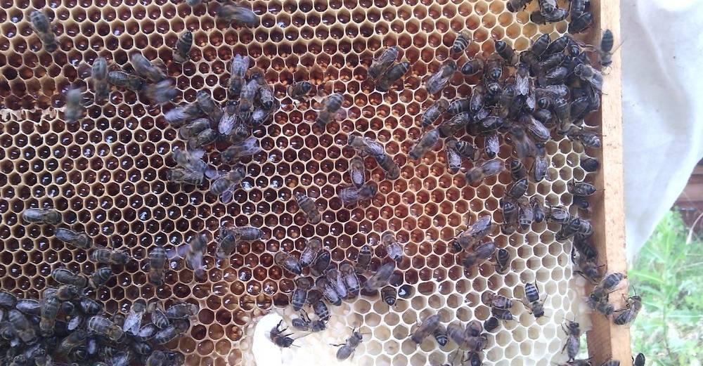 Пчела карника в сравнении с карпаткой