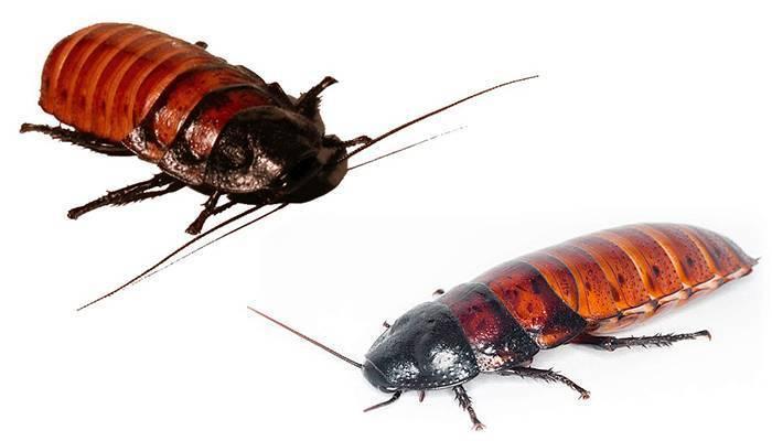 Содержание и размножение мадагаскарских тараканов