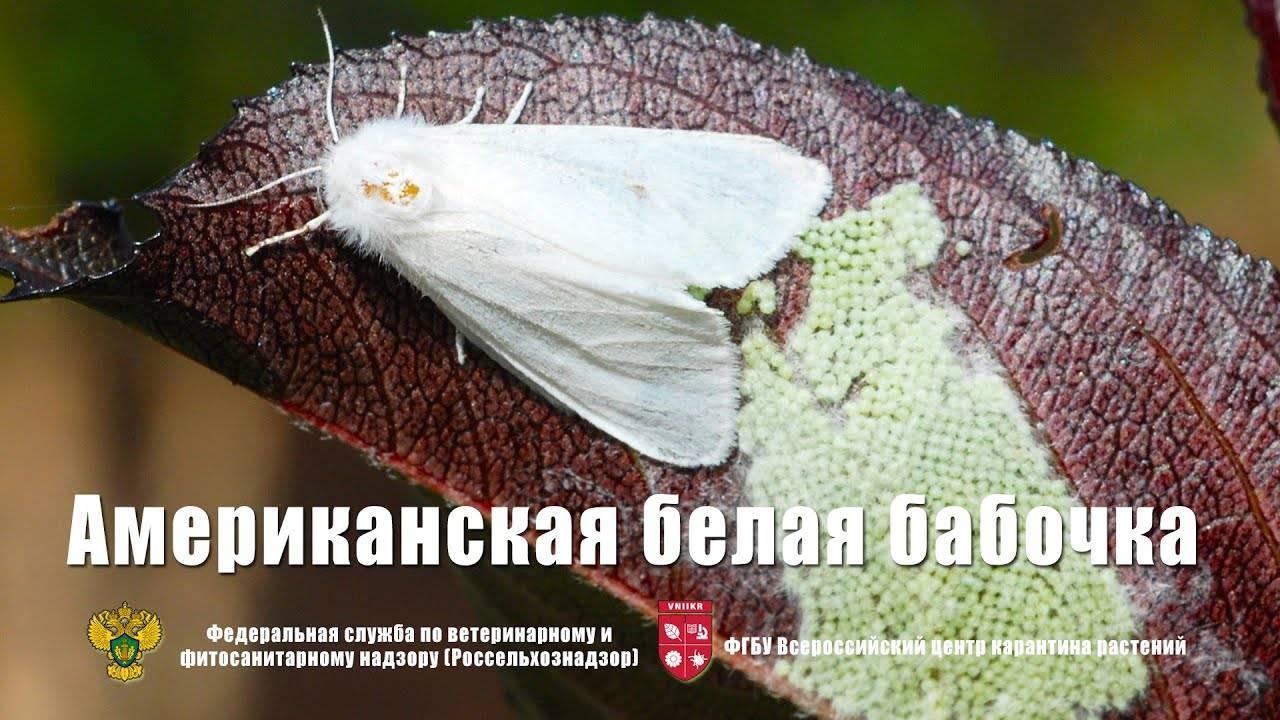 Время медведиц. бабочка медведица госпожа – летнее чудо у ручья медведица госпожа бабочка интересные факты