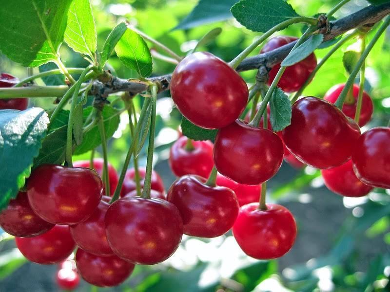Как уберечь вишневый сад от слизистого пилильщика
