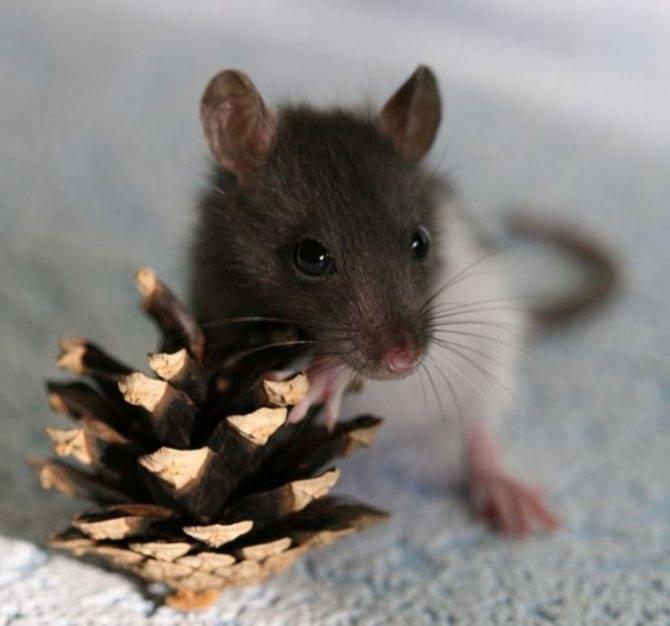 Крысы (лат. rattus)
