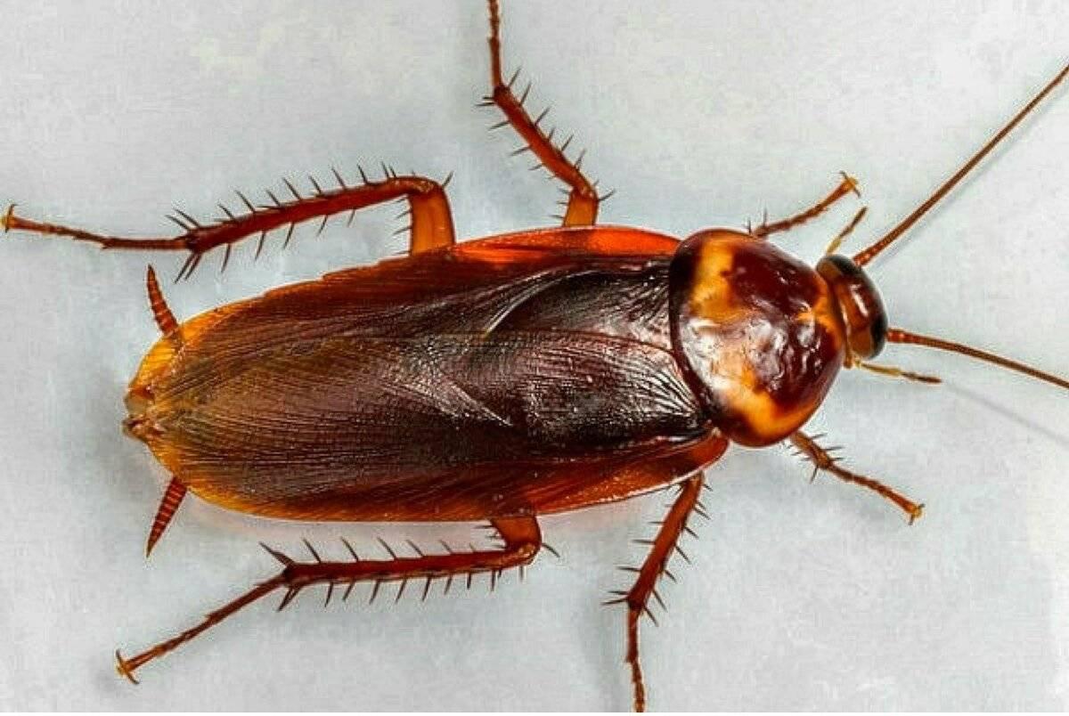 Живут ли тараканы без воды, еды и если им оторвать голову?