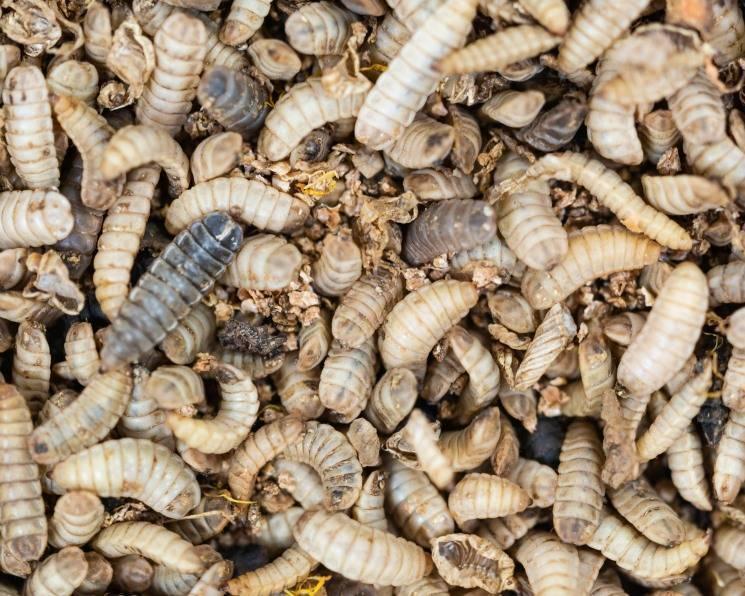 Муха черная львинка: разведение насекомого в медицинских целях