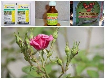 Тля на розах и способы борьбы с вредителем
