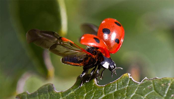 Божьи коровки насекомое