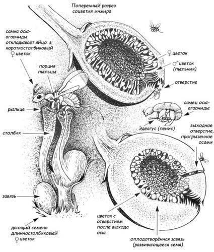 Размножение ос