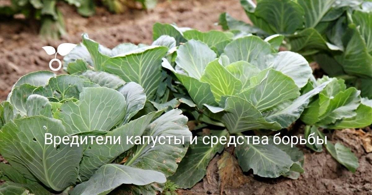 Вредители капусты и способы борьбы с ними