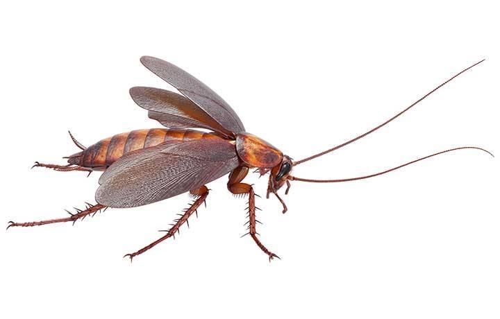 Чем опасен американский таракан и как от него избавится?