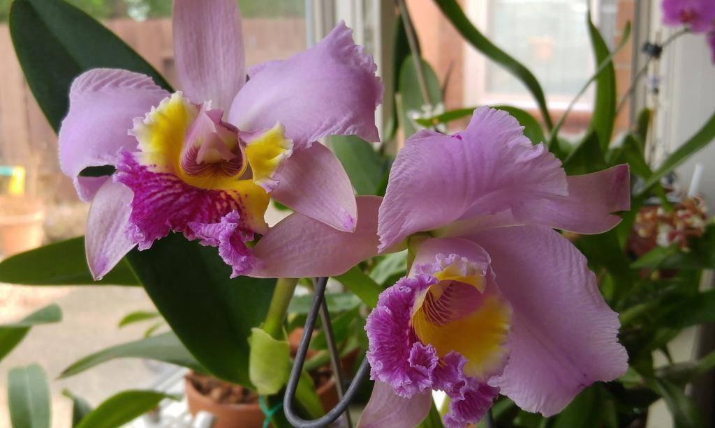 Тля на орхидее – как от нее избавиться?