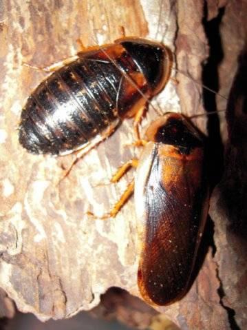 Мадагаскарский таракан: содержание в домашних условиях