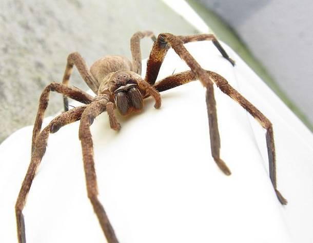 10 самых страшных пауков в мире: их внешний вид испугает любого