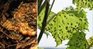 Тля на винограде: симптомы, чем обрабатывать в теплице и открытом грунте