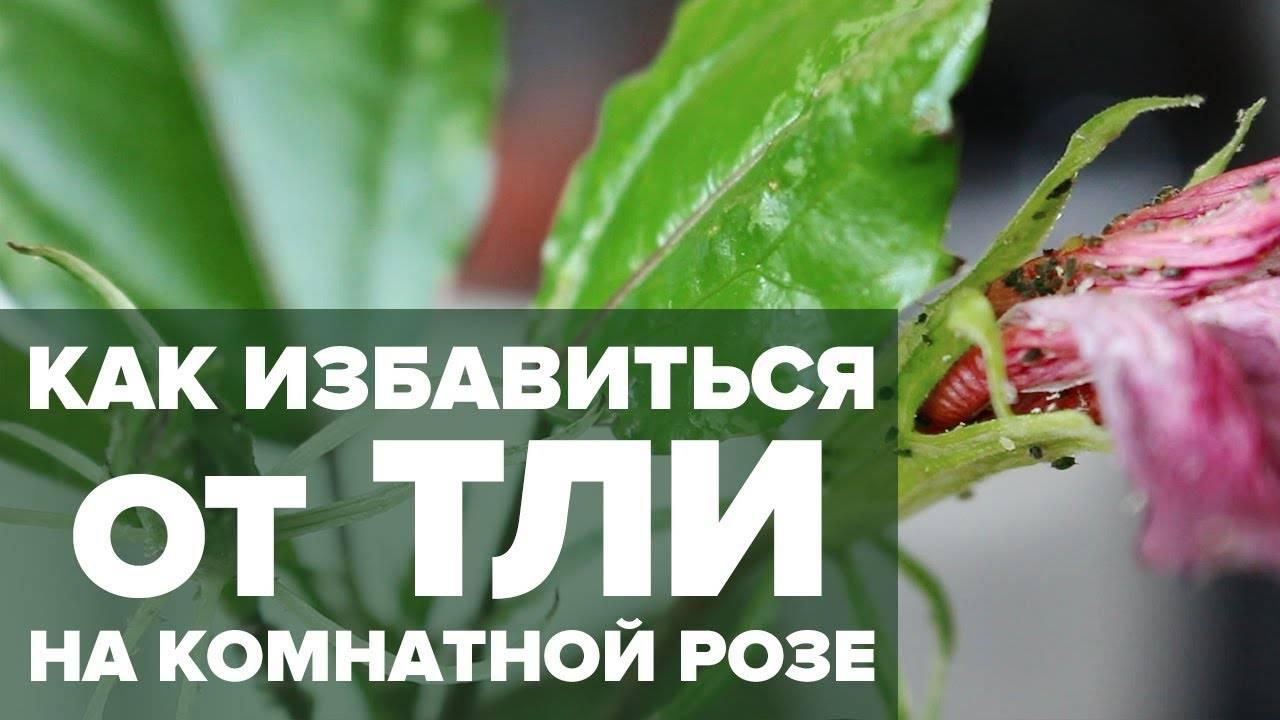 Как бороться с тлей на комнатных растениях и победить: эффективные методы для домашних условий