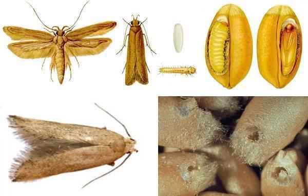 Все о пищевой моли: виды, образ жизни и способы борьбы с вредителем