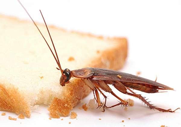 Сколько существует видов тараканов?
