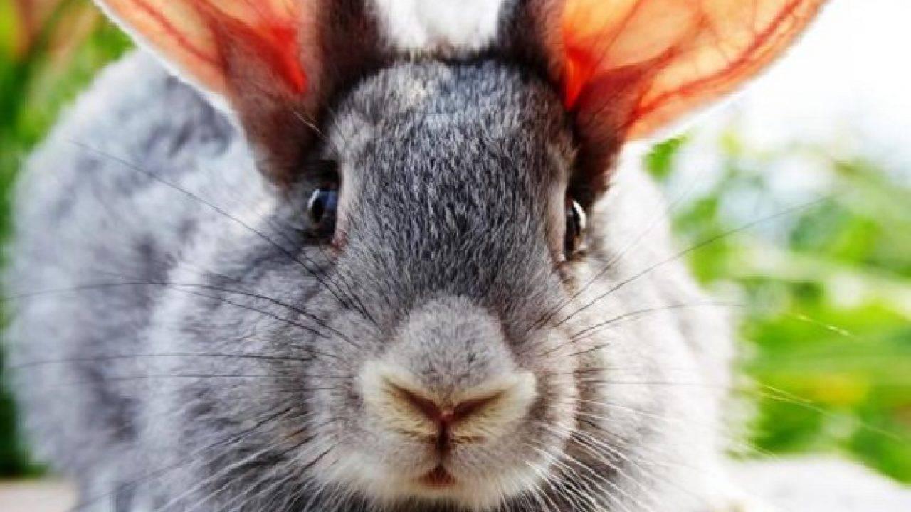 Ушной клещ у кроликов – профилактика и лечение в домашних условиях