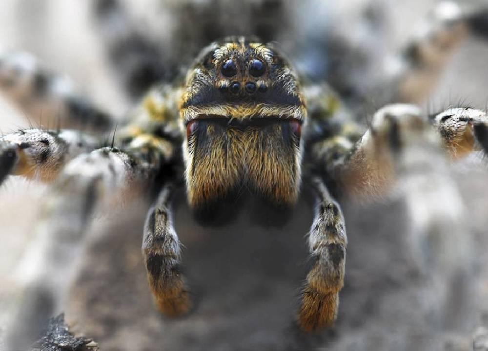 Прыгающий паук опасен для человека. паук-скакун – самый стремительный представитель своего семейства. пауки в квартире - виды, фото