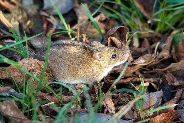 Чем питается мышка полевка: на лугу, в лесу, степи или тайге