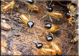 Чем обработать дерево от термитов. что делать, если термиты появились в вашем доме? как избавится от термитов в домашних условиях