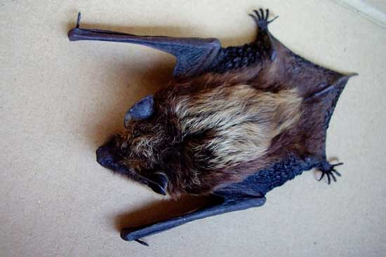 Летучая мышь залетела в квартиру: как поймать и выгнать