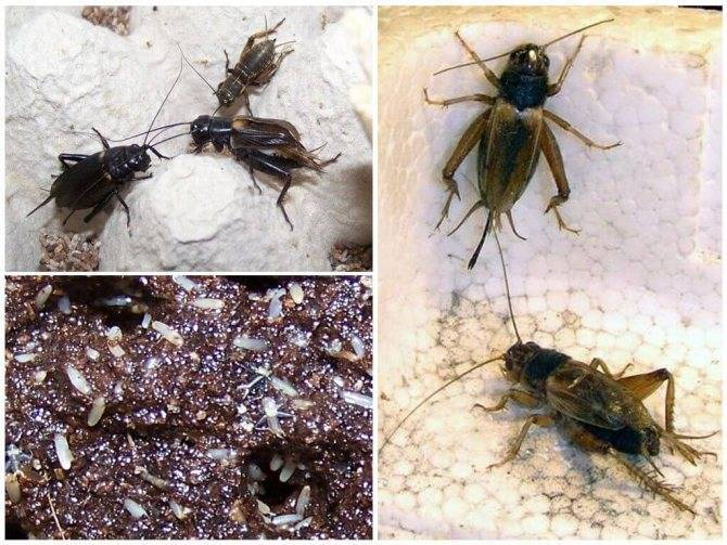 Сверчки: интересные факты. как выглядит сверчок — фото и описание видов насекомого сверчок описание насекомого