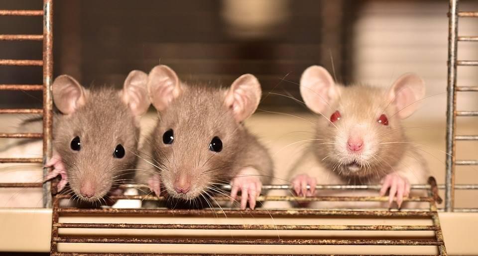 Народные средства и запахи, какие не любят мыши и крысы