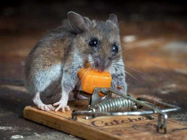 Отпугиватель крыс и мышей — как выбрать самый эффективный?