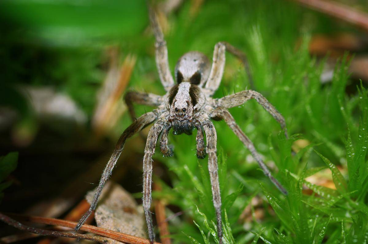 Характеристики австралийского, каёмчатого и полосатого паука-охотника