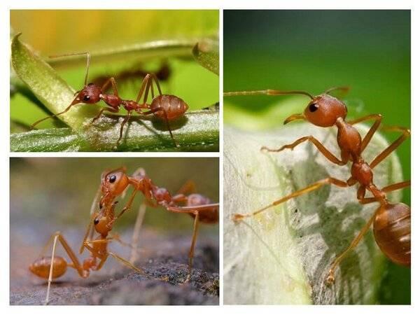Сколько лап у муравьев