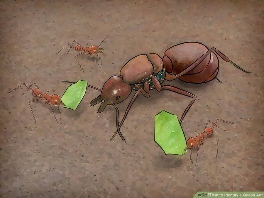Размножение муравьёв