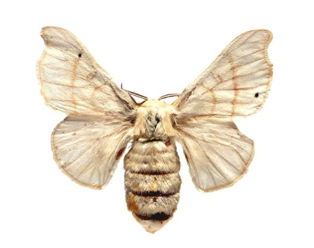 Тутовый шелкопряд: жизненный цикл и питание насекомого