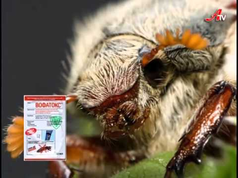 Вофатокс: вкусная смерть для таракана!