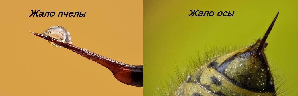 Чем и как кусает оса