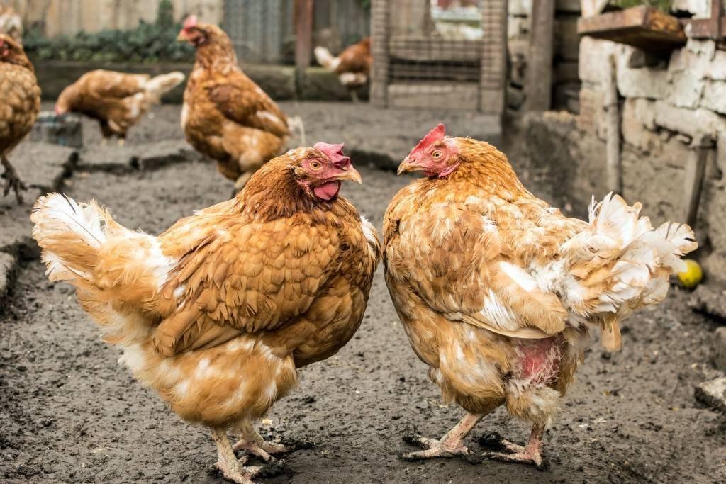 Как избавиться от куриных блох народными средствами и химией?