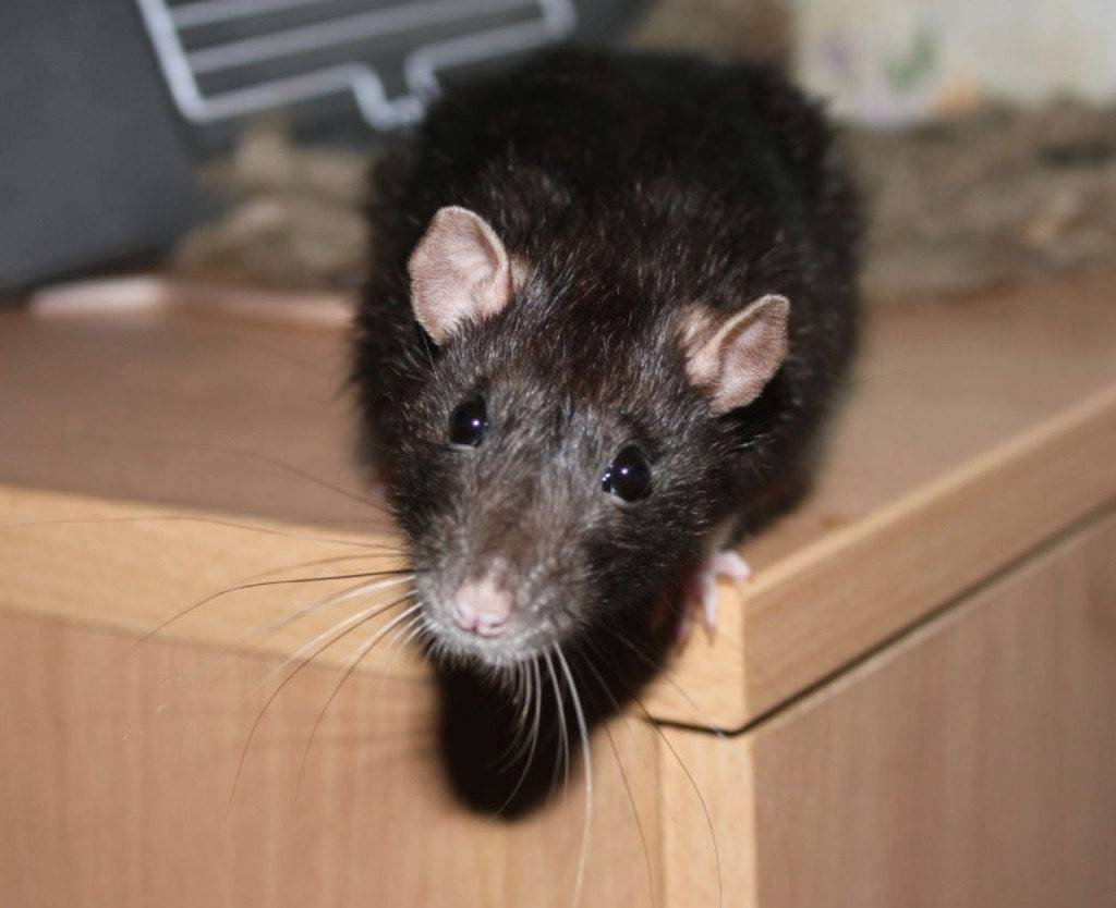 Что делают, если завелись мыши