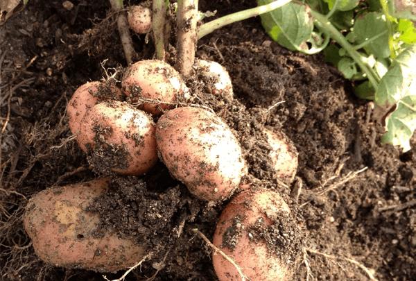 Основные вредители картофеля