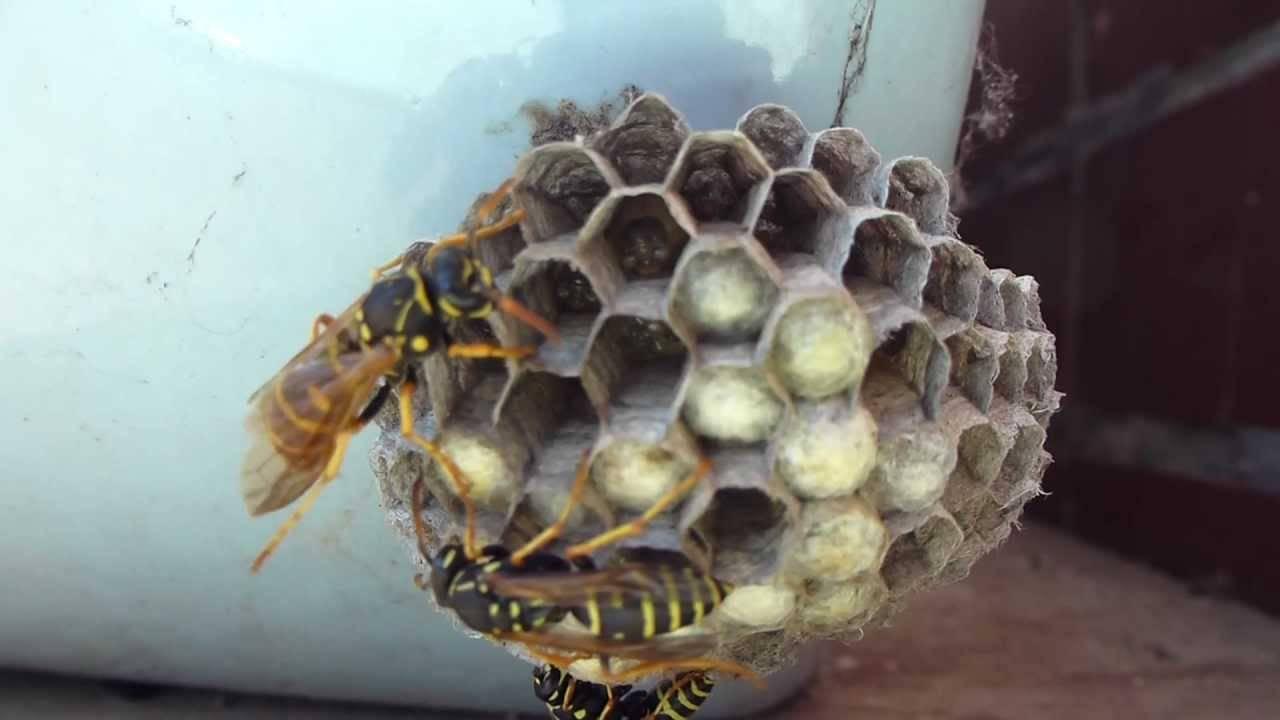 Как зимуют раки в природе. где зимуют осы, спят ли насекомые в холодный период года? борьба с осами в осенне-зимний период
