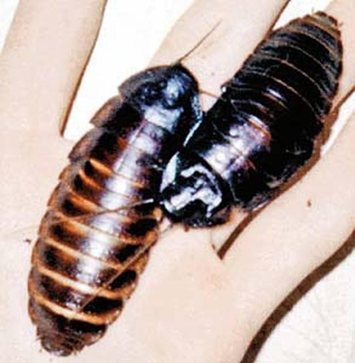 Особенности мадагаскарского таракана и содержание его в домашних условиях