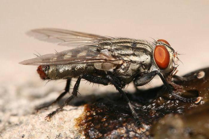 Кусаются ли мухи. почему кусаются мухи и можно ли защитить от них своего питомца! обычная домовая муха