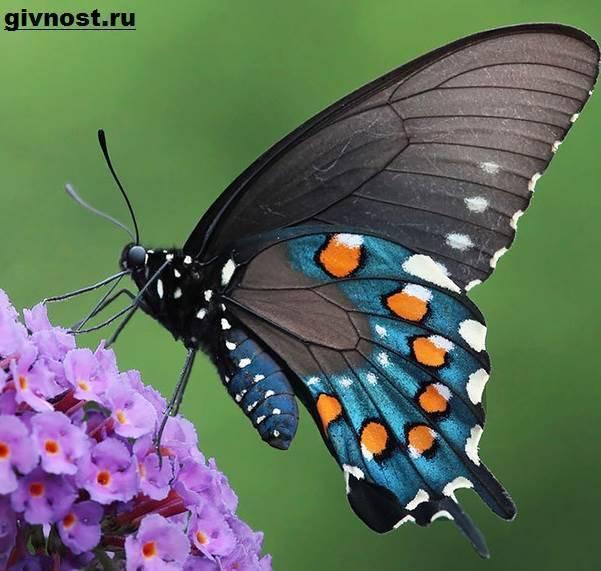 Где обитает и чем питается бабочка махаон