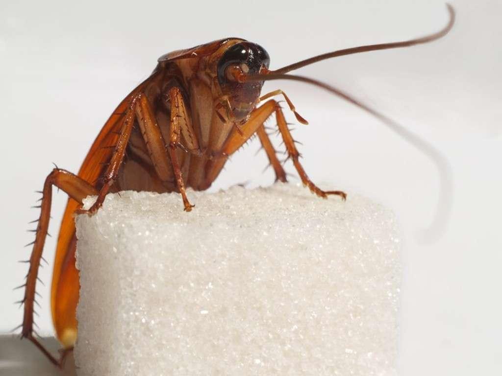 Как действует борная кислота от тараканов