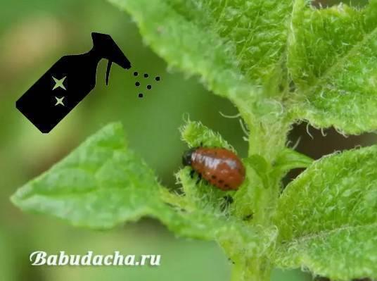 Как бороться с колорадским жуком уксусом и горчицей?
