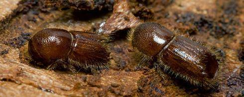 Как избавится от жука — короеда в домашних условиях? какими средствами бороться на деревьях в саду?