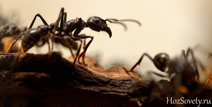 Домашние средства войны, или как вывести домашних муравьев из квартиры
