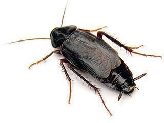 Что представляют собой домашние тараканы