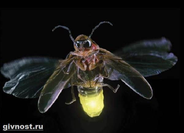 Обыкновенный светляк. иванов червячок – зеленый маячок в прибрежной траве. где обитают светлячки